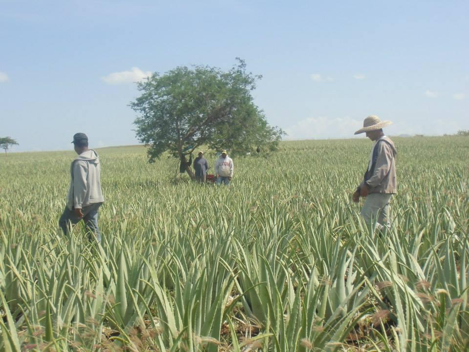 opportunità di lavoro e di benessere per esempio in una piantagione di aloe vera