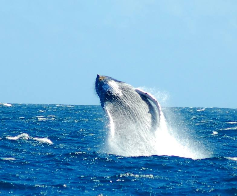 balene di samanà