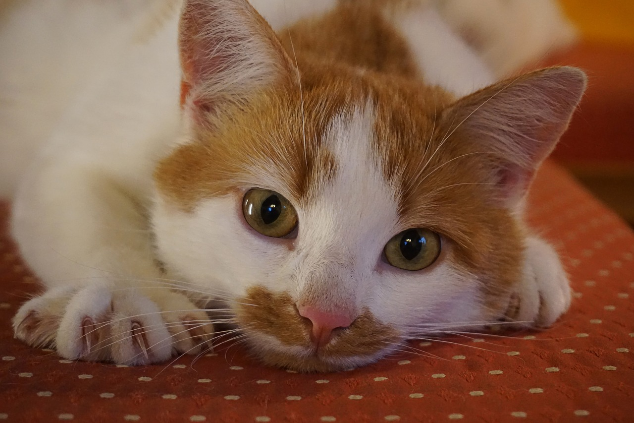 perché il 17 febbraio è la giornata del gatto
