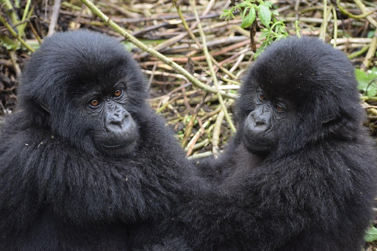 safari per vedere i gorilla di montagna