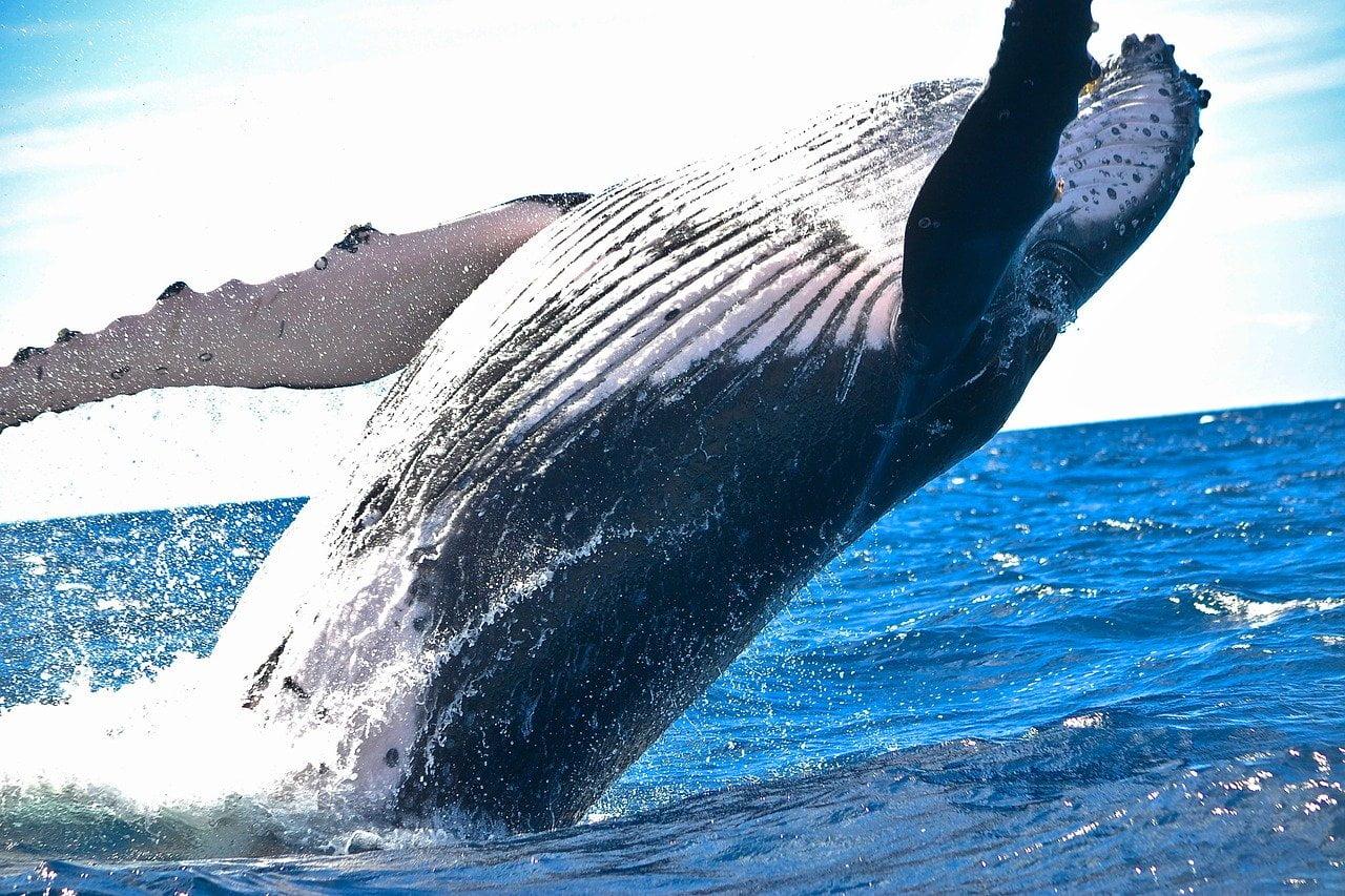 Quando e come vedere le balene in Repubblica Dominicana